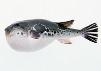 السمك الكـروي السَّمَك الكُروي نوع من السمك يستطيع نفخ جسمه