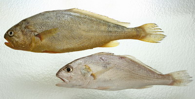 Some dishonest vendors may dye white croakers (below) and sell them as yellow croakers (above) for higher profit