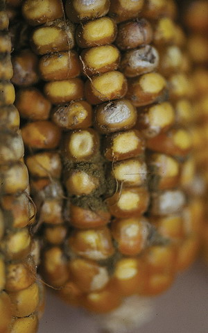 Aflatoxins can exist in crops like maize and peanuts as a result of mould infestation (Photo by courtesy of International Maize and Wheat Improvement Center)